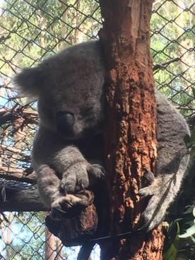 Koala Hospital, Port Macquarie, NSW, Australia