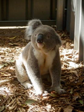 Koala Hospital, Port Macquarie, NSW, Australia